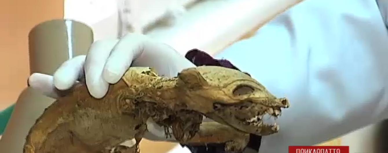 Жителі Коломиї стверджують, що знайшли мертву чупакабру