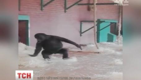 Вальс в исполнении гориллы сняли посетители британского зоопарка