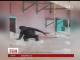 Вальс у виконанні горили зафільмували відвідувачі британського зоопарку