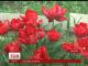 Жителька Миколаєва на подвір'ї виростила понад сто сортів тюльпанів