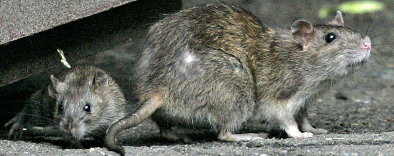 """""""Вони намагалися з'їсти залишки моїх ніг"""", - чоловік з інвалідністю розповів про напад щурів"""