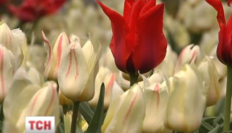 Триста тысяч тюльпанов расцвело на Певческом поле столицы