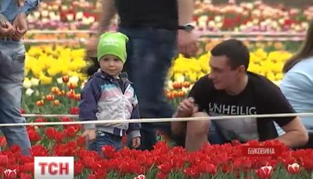 На Певческом поле столицы расцвело 300 тисяч тюльпанов