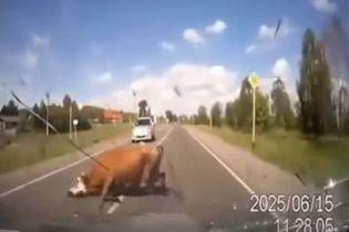У Росії водій врізався у корову та бика, що спарювалися