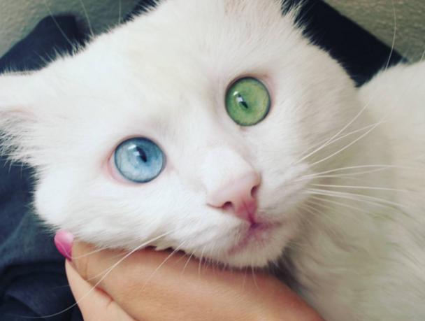 Кумедний різноокий кіт із Туреччини став зіркою Instagram