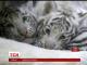 Чеський зоопарк показав фотографії маленьких білий тигренят