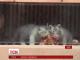 У чеському зоопарку тигренята-альбіноси вперше вийшли у відкритий вольєр