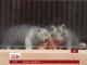Рідкісні тигренята-альбіноси вперше вийшли у відкритий вольєр у чеському зоопарку