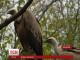 В зоопарку німецького Нордхорна два грифи всиновили яйце