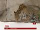 В американському зоопарку ягуари вперше побачили сніг