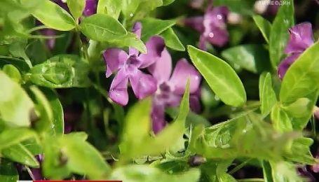 Наталя Підлісна розповіла про секрети вирощування ґрунтопокривних рослин