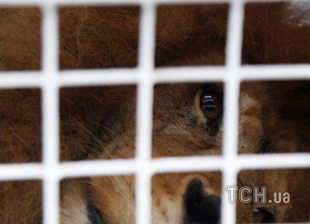 Американські захисники диких звірів врятували з циркового рабства 33 львів