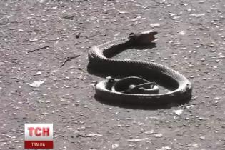 Жителів Миколаєва перелякала величезна змія, ловити яку приїхали одразу два екіпажі поліцейських