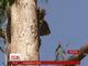 Австралійські коали успішно одужали після нападу собак