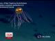 Вчених приголомшили барвисті медузи з глибин океану