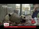 Інтернет користувачів полонило відео, в якому дві панди влаштували безлад у своєму вольєрі
