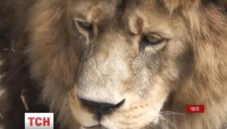В чилийском зоопарке застрелили двух львов из-за самоубийцы-неудачника