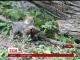 У зоопарку Чикаго вперше до публіки вийшли троє маленьких вовченят