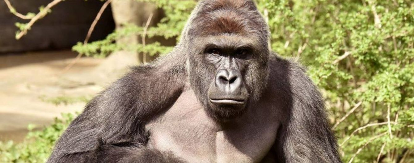 У США горила 10 хвилин тягала вольєром 4-річного малюка