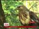 В Галицькому національному природному парку готуються до прийому рідкісних хижих птахів