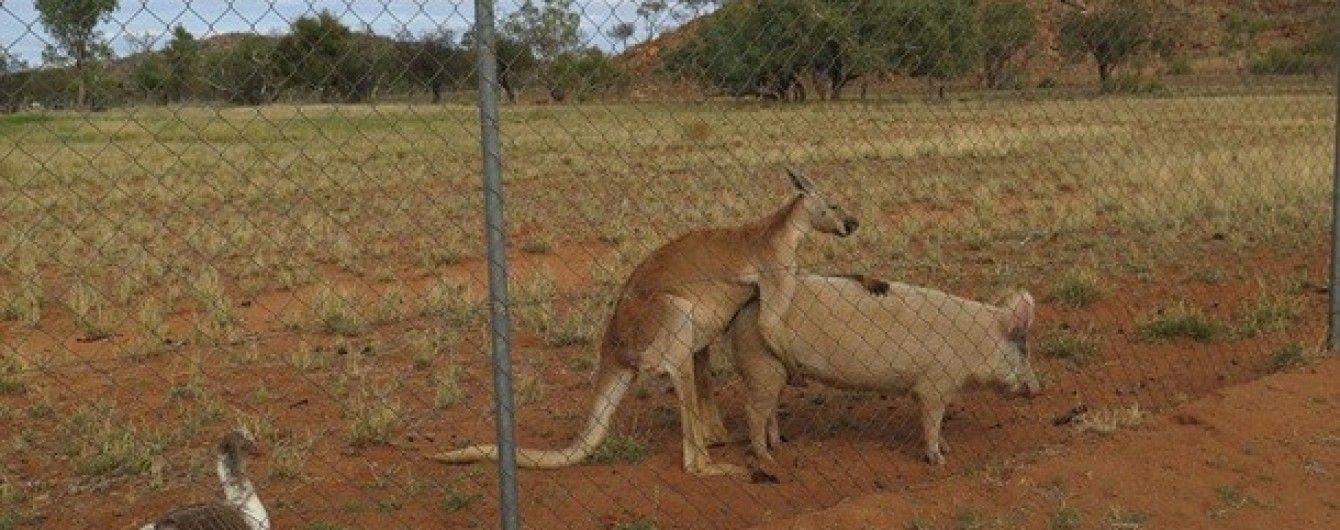 Секс кенгуру и человека видео