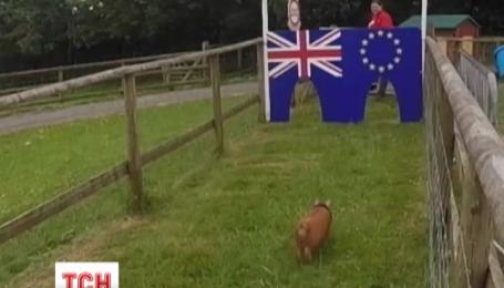 Британские фермеры гадают на свиньях о возможном выходе страны из Евросоюза