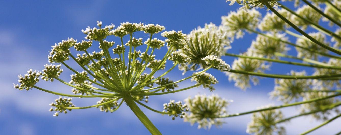 Фотофитодерматит: когда луговые травы становятся опасными