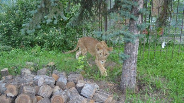 Домашній хижак. У Запоріжжі в звичайній квартирі знайшли шестимісячне левеня