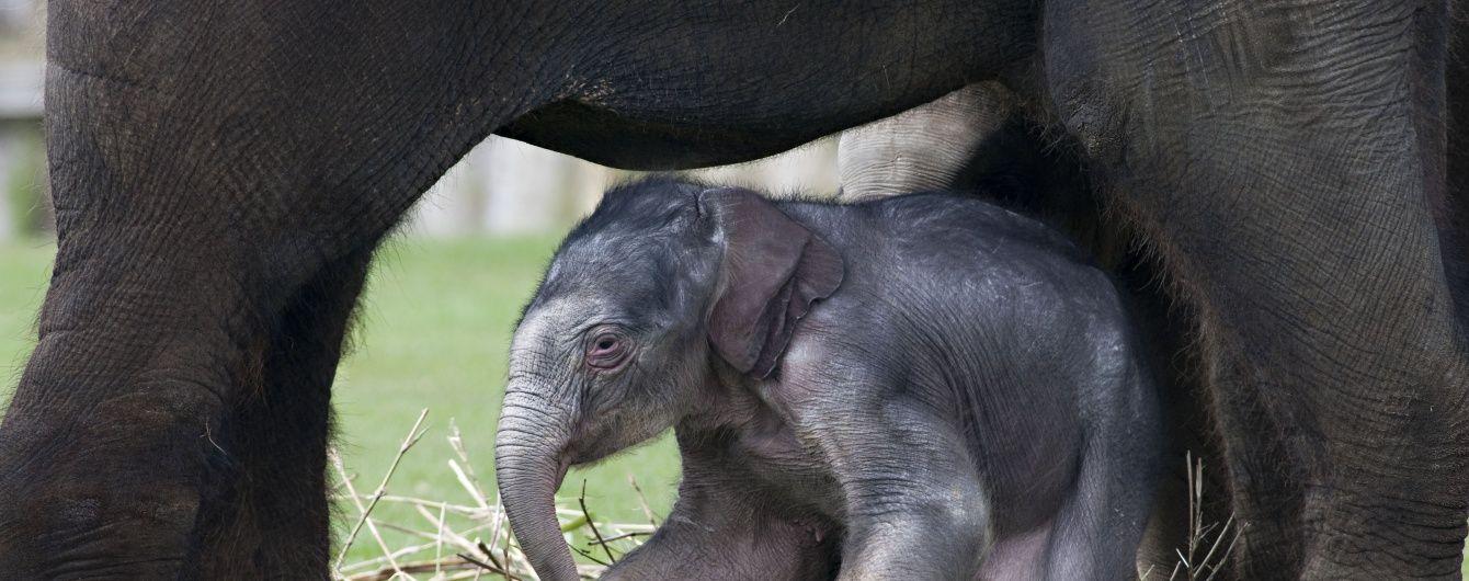 В Праге показали родившегося неделю назад слоненка