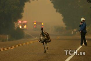 Огненные торнадо и бегство диких животных: в Калифорнии пылают мощные лесные пожары