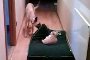 Користувачів Мережі розвеселило відео, на якому собака намагається прогнати кота зі свого ліжка