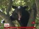 У США дикий ведмідь просидів 3 дні на дереві посеред житлового кварталу