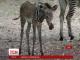 У Чикагському зоопарку народилося зебреня