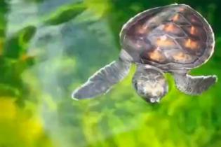 Вченим вдалося загіпнотизувати дитинчат черепах