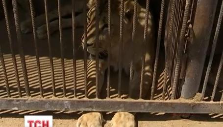 У Львовской области в частном зоопарке лев покалечил двух мужчин