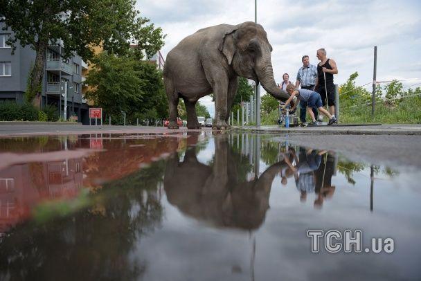 Як Берліном слона водили. Reuters показав щоденну прогулянку циркової тварини