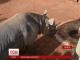 У Танзанії на волю випустили чорного носорога