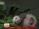 У бельгійському зоопарку маленька панда спробувала зробити перші кроки