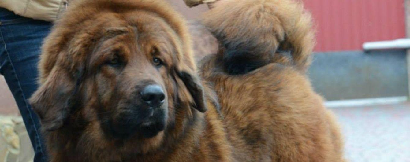 У Рівному заборонили вирощувати бійцівських собак