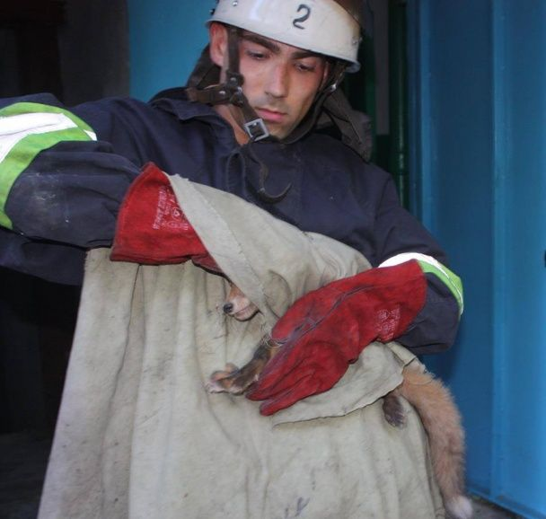 У Кропивницькому служба порятунку врятувала лисенятко з підвалу багатоповерхівки