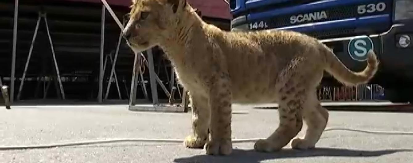 У Сумах працівників цирку запідозрили у знущанні над тваринами через левеня із подряпаним носом