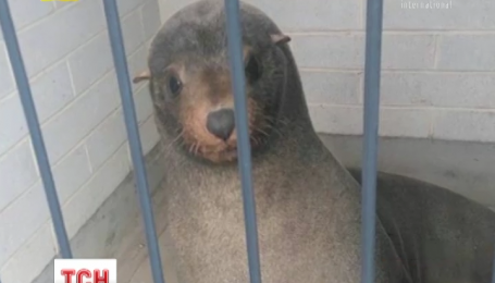 В Австралии в туалете на кладбище нашли отдыхающего морского котика