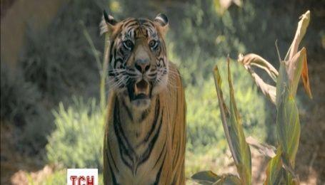 Малята рідкісного суматранського тигра вперше вийшли із безпечного вольєру