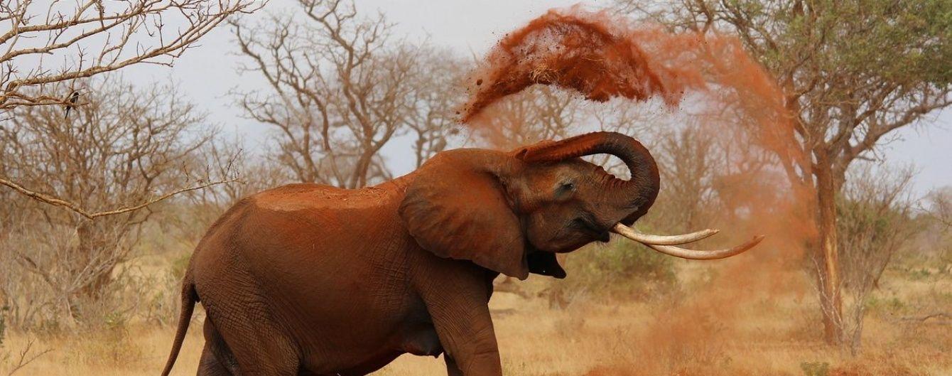 В Африці додумалися відганяти слонів презервативами з перцем