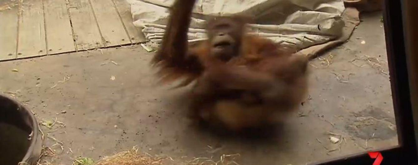 В австралійському зоопарку орангутан підкорив відвідувачів майстерним виконанням брейк-дансу