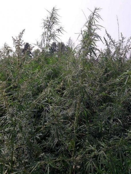 СБУ знайшла величезне поле коноплі на Черкащині