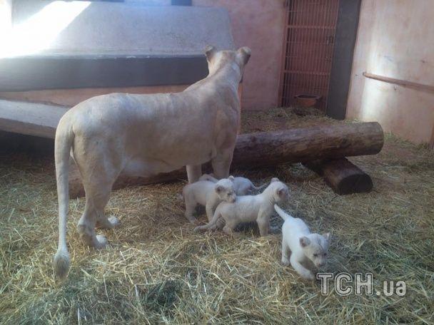 У приватному зоопарку під Києвом народилось одразу 5 білих левів