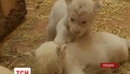 У зоопарку під Києвом народилося 5 левенят рідкісного виду