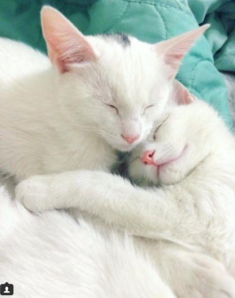 Коти-близнюки. Юзери шаленіють від білосніжних домашніх улюбленців з очами різного кольору