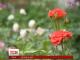 Киянин Віталій Ткачук виростив квіти біля столичного суду та щовечора дарує їх перехожим жінкам